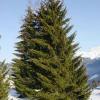 spruce-tree1