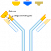 255px-Antibody_svg