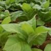 Tobacco-Plants-150x150