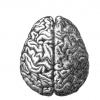 569px-Human_brain