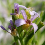 Cakile edentula (the Great Lakes Sea Rocket)