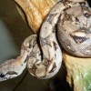 Boa Constrictor