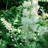 black-cohosh-plant